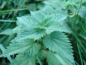 Meet our French Friend the Nettle (with Recipe)