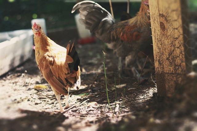 Chickens at the Jardin de l'Hotel de Ville/ courtesy of Velib' blog