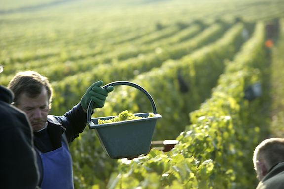 Harvest in Champagne by Photojournalist Clay McLachlan