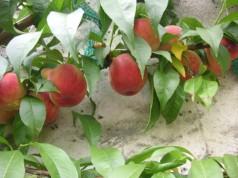 Peaches, courtesy of the Société Régionale Horticole de Montreuil