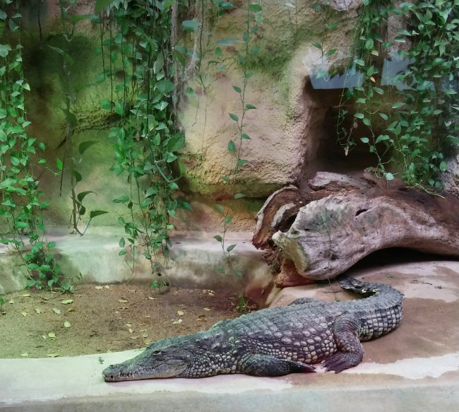 crocodile at La Ménagerie, Paris