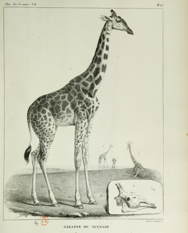 The giraffe of Charles X