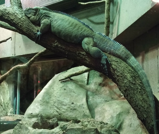 iguana at La Ménagerie