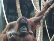Oranguatan at La Ménagerie