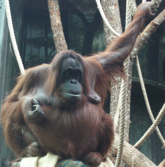 Oranguatan at La Ménagerie