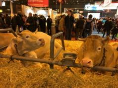 cows at the Salon de l'Agriculture