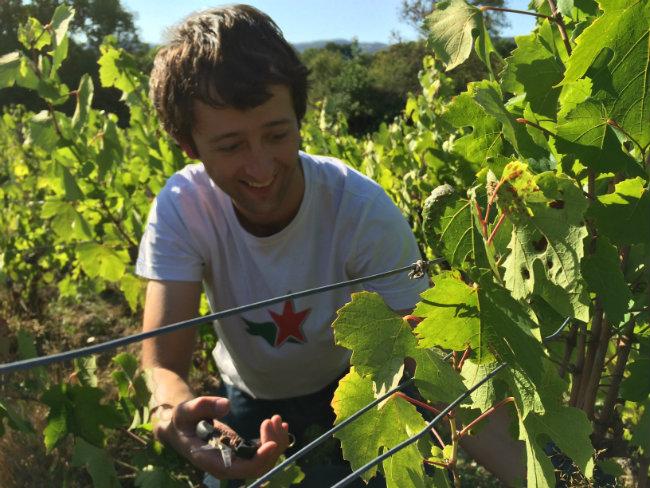 John-Paul Fortney picking wine grapes