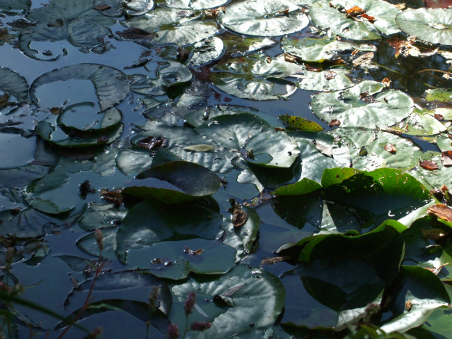 Water lilies in Monet's garden in Giverny