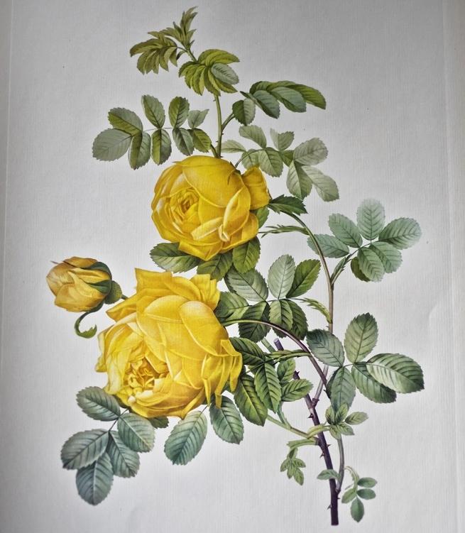 Pierre-Joseph Redouté: The Raphael of Botanica
