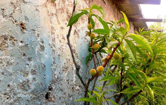 The Peach Walls of Paris & A Recipe for Peach and Lemon Verbena Sorbet