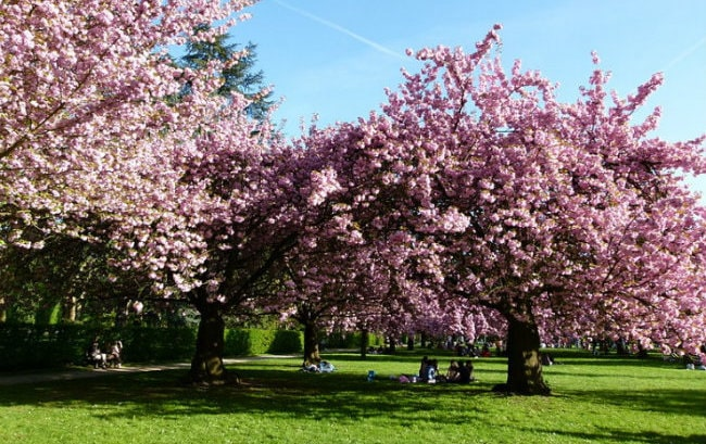 Cherry Blossom Festival Hits Paris this Weekend