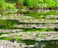 Close up of lily pads in the pond