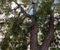 Jap Pagoda tree