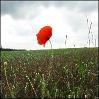 Poppy, Armistice Day