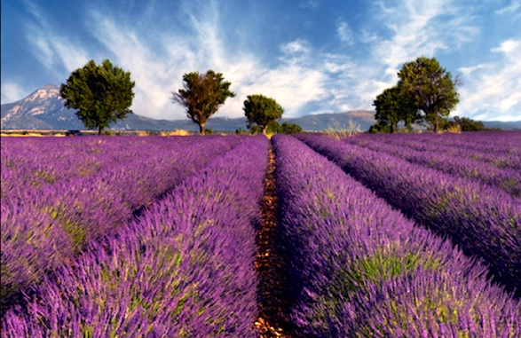 Provence lavender field on a windy day.