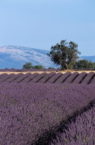lavender in Provence France