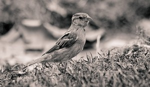 Sparrow in Paris. Photo credit: p.v./Flickr Creative Commons