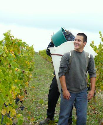 Harvest at Chateau de Pimpean. Photo: Cathy Shore
