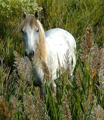 Camargue horse. Photo: Hedwig Storch